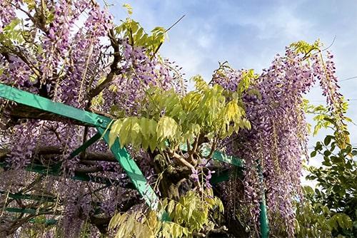 藤の花のイメージ